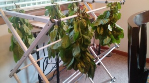 Drying indigo1stharvest